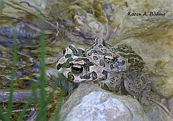 Macroaufnahme einer Kröte